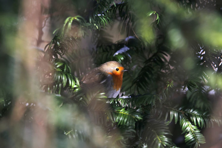 Close-up of robin on branch