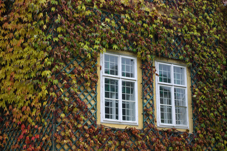 Colourful White Window Autumn Building Exterior Covered Wall Ivy Leaves Windows