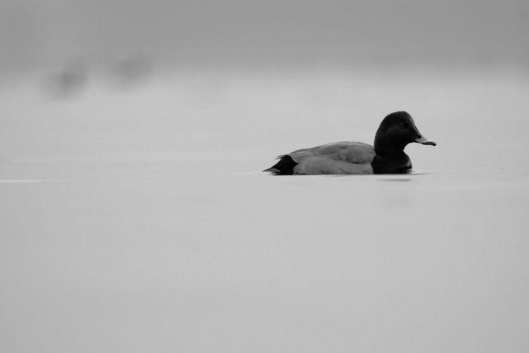 Moriglione Moriglione Anatra Bird Wild Bnw Bnwphotography Bnw_collection Humpback Whale Bird Swimming Raven - Bird Cold Temperature Winter Whale Sea Life Snow
