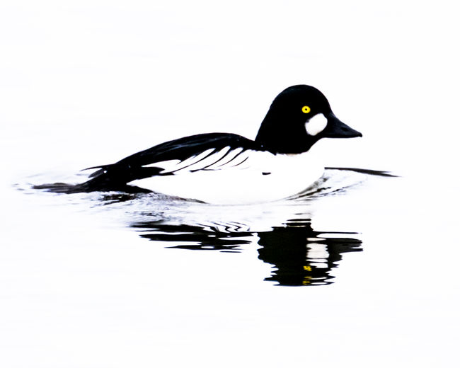 Common goldeneye duck. Common Goldeneye Animal Themes Animal Wildlife Animals In The Wild Beauty In Nature Bird Close-up Day Duck Floating On Water Goldeneye Duck Lake Nature No People One Animal Outdoors Reflection Swimming Water Water Bird Waterfront White Background