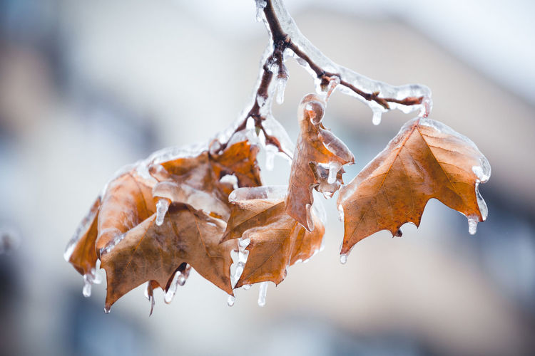 Leaves of trees under the freezing rain, plants in the ice. Climate change concept Plant Part Leaf Cold Temperature Focus On Foreground Close-up Winter Autumn Day No People Nature Tree Change Plant Snow Outdoors Dry Frozen Branch Twig Leaves Ice Natural Condition Climate Change Freezing Rain Frost