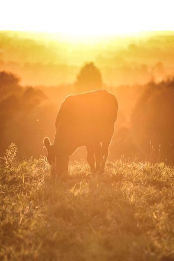 Cow grazing on field during sunset