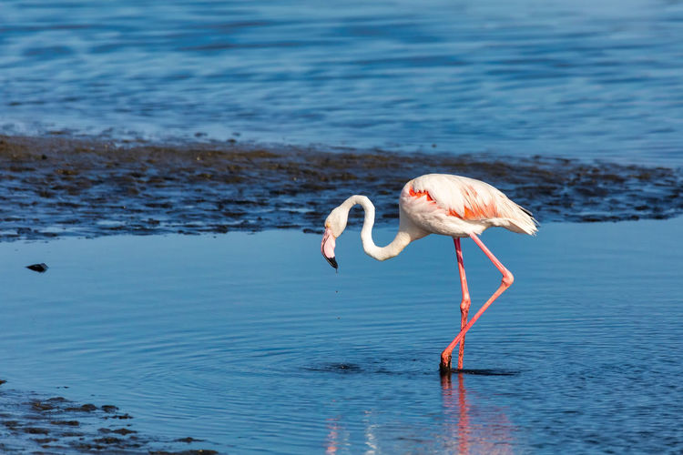 Side view of flamingo in lake