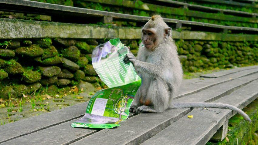 reading 📖 monkey 🙊 Monkey Monkey Face Monkey Forest Bali Article Flyer Brochure Leaflet Booklet Monkey Forest Eyeem Monkeys Holiday Ubud Nature Portrait Animal Themes Animal Wildlife Day One Animal Outdoors Sitting No People Animals In The Wild
