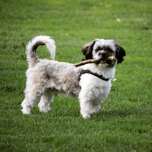 Toby #happydog #MyDog #mydog #life #cute #dogs #branches Dog Domestic Pets Canine Domestic Animals Grass One Animal Animal Green Color Shih Tzu Young Animal Nature