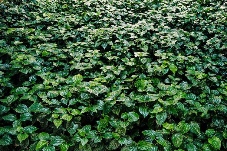 Fresh new green heart shaped leaves of wild betel. wild pepper betel leaf plant
