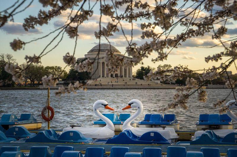 Love birds at the Jefferson. Jefferson Memorial Washington, D. C. Swans Paddle Boats Tidal Basin Showcase April