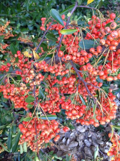 Wild Berries Redberries Nature
