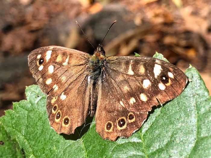 • Waldbrettspiel | Speckled Wood | Pararge aegeria • Butterfly EyeEm Nature Lover EyeEm Best Shots - Macro / Up Close Insect Invertebrate Animal Wing Animal Themes Animal Animal Wildlife Butterfly - Insect Animals In The Wild One Animal Beauty In Nature Nature No People Close-up Focus On Foreground