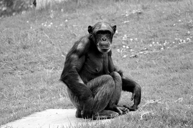 Portrait of chimpanzee on grassy field in zoo