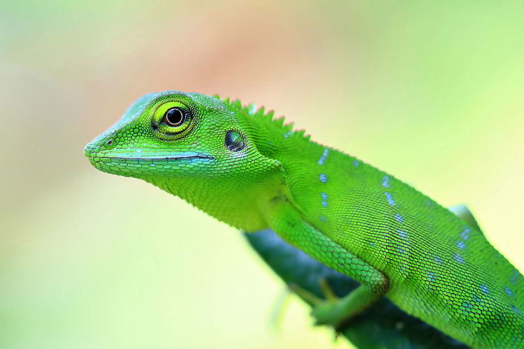 Green lizard stood on green branch with bokeh background Animal Themes Animal Wildlife Animals In The Wild Background Beauty In Nature Bokeh Branch Chameleon Close Up Close-up Day Details Forest Garden Green Color Jungle Lizard Natural Light Nature Beauty Nature Photography No People One Animal Outdoors Reptile Zoo
