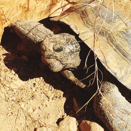 My baby Tortoise Desert Tortoise Desert MojaveDesert Animals Pets Brokinbonz Brokinbonz Clothing