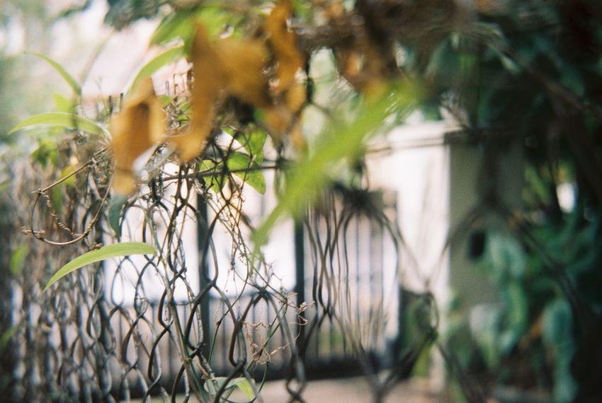 Fence Filmcamera Filmphotography Growth Kodak Portra Kodakfilm Nature Plant Voigtländer Upclose Street Photography Naturediversity