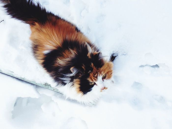 High angle view of cat lying on snow