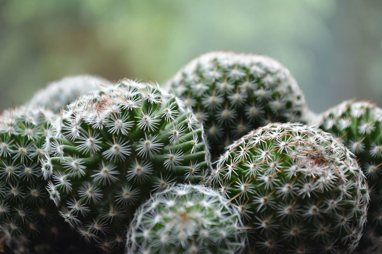 Closes up of a school of Mammillaria dioica cactus! Barrel Cactus Beauty In Nature Cactus Close-up Danger Day Focus On Foreground Growth Mammillaria Dioica Nature No People Outdoors Plant Prickly Pear Cactus RISK Spiked Thorn Tranquility Uncultivated EyeEm Selects