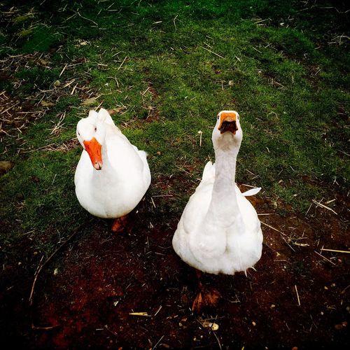 Animals Wildlife Hipstamatic Geese Farm