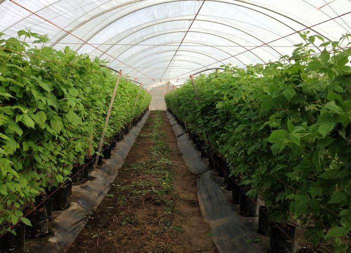 Greenhouse raspberry fruit production. Raspberry Plant Greenhouse Greenhouse Production Modern Agriculture Rasberries Green Color Potted Plant Irrigation Agriculture Freshness Indoors  Growth Plant No People Farm
