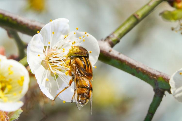 斑眼食蚜蠅 Flower