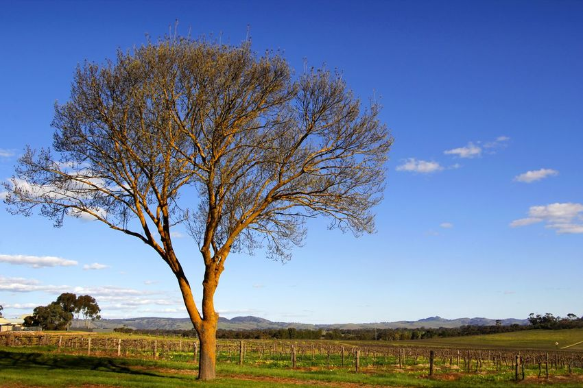 Late afternoon sunshine warms the vines across the Barossa Valley South Australia Afternoon Light Australian Landscape Barossa Valley Vines Bare Tree Beauty In Nature Blue Branch Day Field Landscape Late Sunshine Lone Nature No People Outdoors Rural Scene Scenics Sky Tranquil Scene Tranquility Tree Vineyard