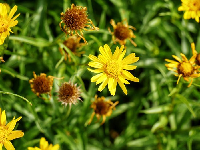 Flower Yellow Plant Nature Day Outdoors Green Color No People Summer Alternative Medicine Growth Flower Head Fragility Beauty In Nature Botanical Garden Close-up Freshness Backgrounds Freshness Herbal Medicine Nature On Your Doorstep Naturelovers Petal Nature_collection Nature Photography
