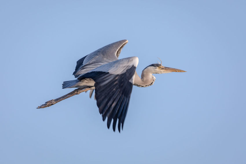 Animal Animal Themes Animal Wildlife Animals In The Wild Bird Blue Clear Sky Copy Space Day Flying Grey Heron  Heron Low Angle View Mid-air Motion Müritz Müritz Nationalpark Nature No People One Animal Outdoors Sky Spread Wings Stork Vertebrate