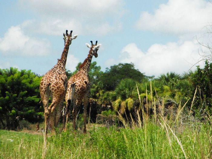 Giraffes! & Girrafe  , Nature & Sunlight