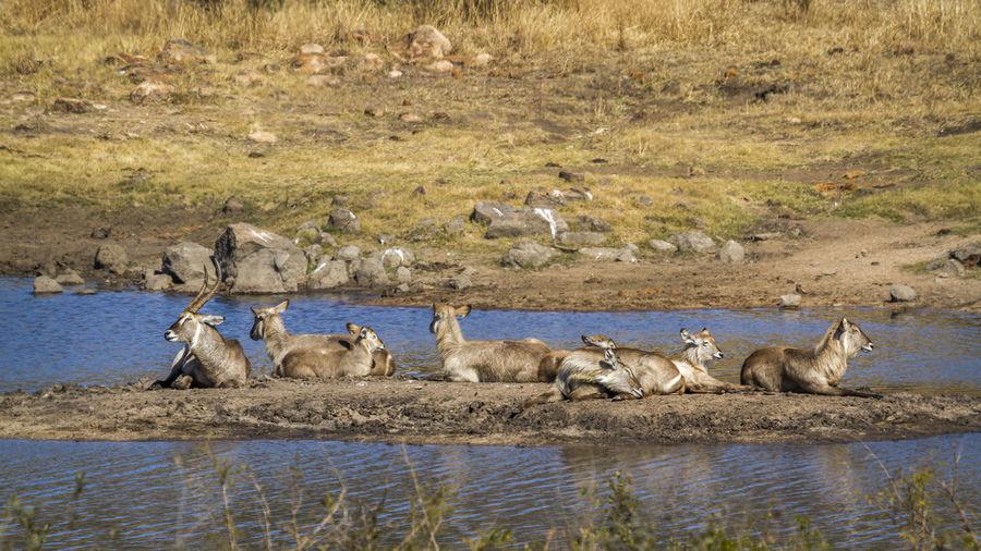 Waterbucks sitting by lake