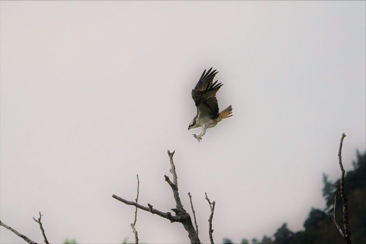 Animal Animal Themes Animal Wildlife Animals In The Wild Bird Bird Of Prey Branch Clear Sky Copy Space Day Eagle Flying Low Angle View Nature No People One Animal Outdoors Plant Sky Spread Wings Tree Vertebrate