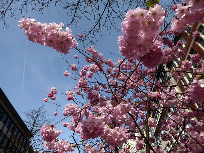 Millennial Pink Looking Up😍 Unusual Perspective Nature Beauty In Nature Low Angle View Tranquil Scene Sunny Day In Spring😍 Beauty In My City Freshness Enjoyinglife  Simple Beauty For My Friends 😍😘🎁 Exploding Nature Blossom Flower Head Springtime Springtime💛 Pink Color Flower Growth Nature Tree Clear Blue Sky
