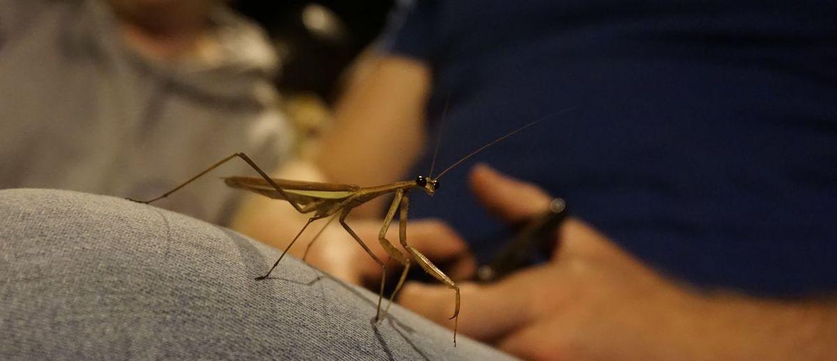 Close-up of praying mantis on human leg