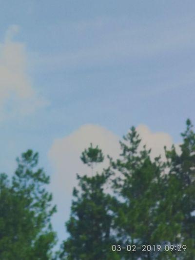 landscape sky and pine tree Landscape Sky Sky And Clouds Sky And Trees Skytree Skyview Pine Tree Pine Trees Pine Trees Against The Sky Tree Sky Close-up