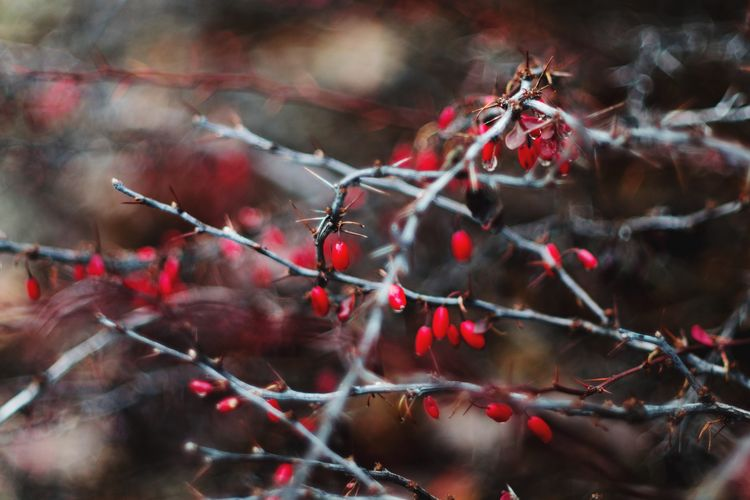 Red Rose Hip Nature Fruit Outdoors No People Beauty In Nature Day Food And Drink Close-up Branch Tree Rowanberry Autumn Focus On Foreground Food Plant Growth Freshness