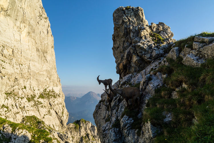 Alpine ibex Rock Sky One Animal Day Animal Rock - Object Solid Rock Formation Low Angle View Nature Animal Themes Mammal Mountain Animal Wildlife Clear Sky Vertebrate No People Cliff Animals In The Wild Domestic Animals Outdoors Herbivorous Formation Alpine Ibex Ibex Tyrol Austria