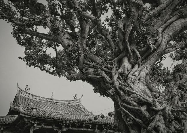 Power In Nature Big Tree Trees Nature Old Town Chinese Temple Chinese Architecture Roof 屋根 Roof 屋頂 Landscapes Nature's Diversities The Great Outdoors With AdobeEye4photography  Street Photography Streetphoto_bw Black And White Blackandwhite Focus Object Monochrome Photography Fine Art Photography 蔦裊裊 Travel The Architect - 2016 EyeEm Awards2016.03.29 專)yuna's 鹿港記錄 at 鹿港龍山寺 in 彰化 Taiwan