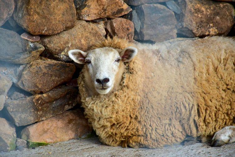 Sheep Resting Outdoors Animal Themes Animal Photography Sheep🐑