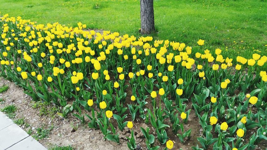 Yellow Tulips Flowers Beautiful Nature