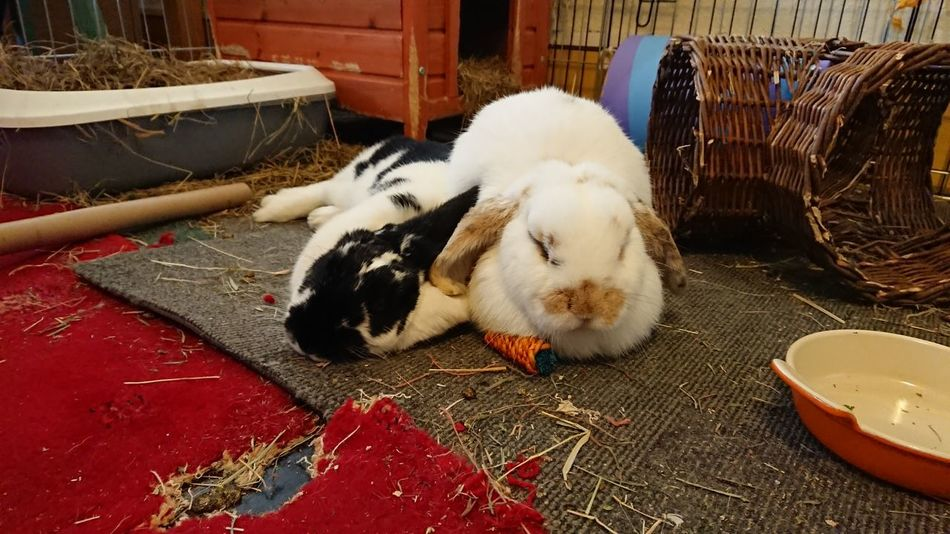 Two rabbits, Twinkle ✨ and George, sleeping White Black And White Colour Image No People Love Rabbit ❤️ Sleeping Indoors  Brown Rabbit Rabbits Two Rabbits Bonded Pair Happy Relaxed Dog One Animal Cage Puppy Beagle