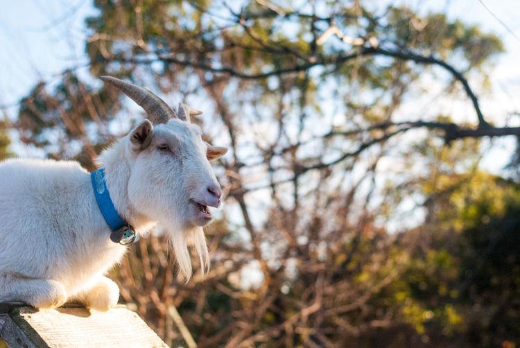 A white goat