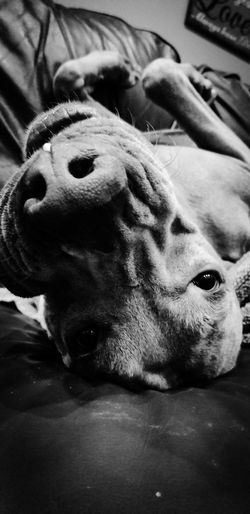 Pets Pit Bull Terrier Portrait Dog Looking At Camera Close-up