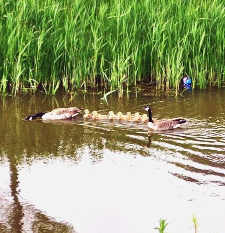Geese Photography Geese Family Geese Swimming Geese In Formation Gosslings Family❤ Nederland🇳🇱💕 EyeEm Nature Lover EyeEm Selects EyeEmNewHere The Week On EyeEm Eyeem Market EyeEm Best Shots - Nature