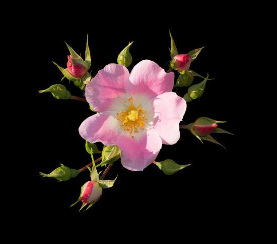 Wild rose. Pink Rosa rugosa or Dog rose closeup isolated on black. Dog Rose Pink Summertime Closeup Flower Petals Pistils Rosa Rugosa Summer