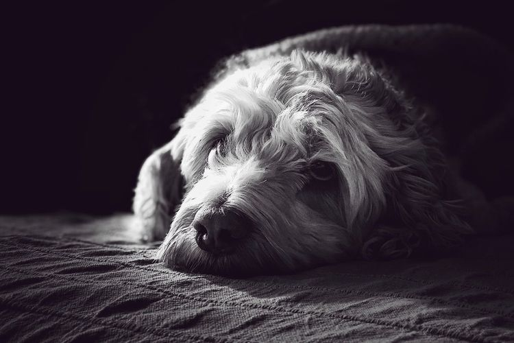 My best model ever! Black And White Photography Black&white Waiting For Someone Bestcompanyever Gaia Mylittleprincess Dog One Animal Pets Mammal Domestic Animals Animal Themes Bed Close-up Relaxation Lying Down Shades Of Winter EyeEmNewHere EyeEmNewHere Capture Tomorrow