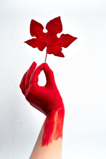 Close-up of hand holding maple leaf against white background