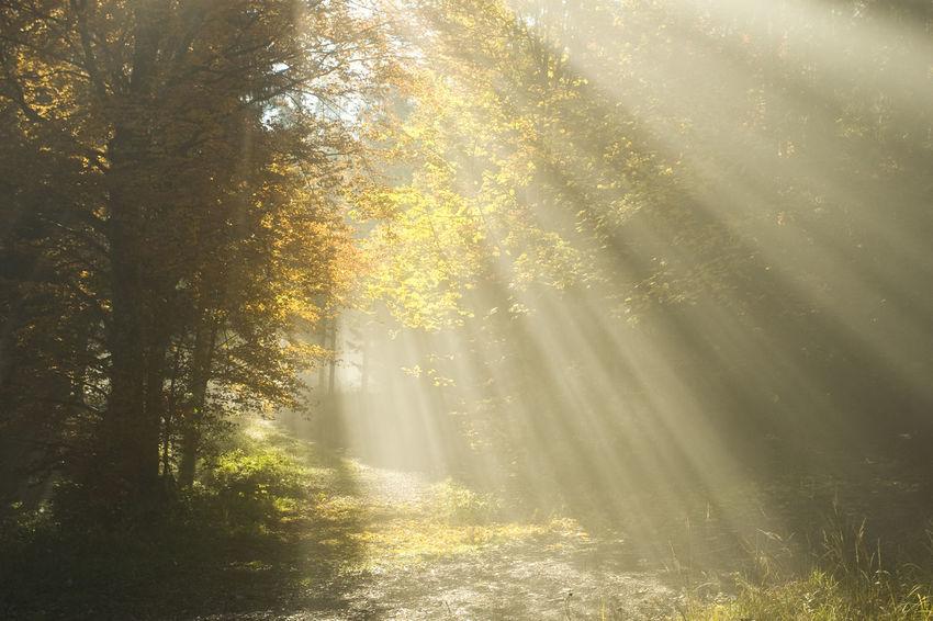 Trees Sunbeam Fog Foggy Morning Morning Light