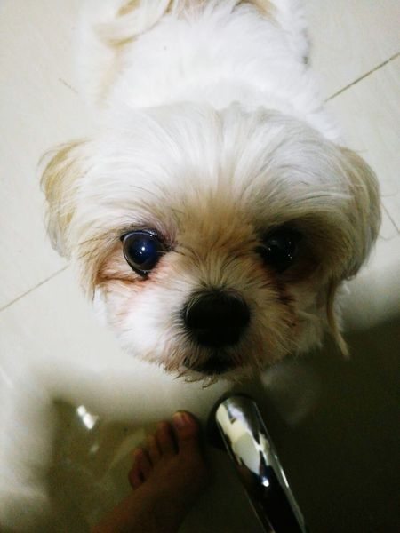 Dog Looking At Camera Pets One Animal Domestic Animals Portrait Mammal Animal Themes Close-up Indoors  Shih Tzu No People Day