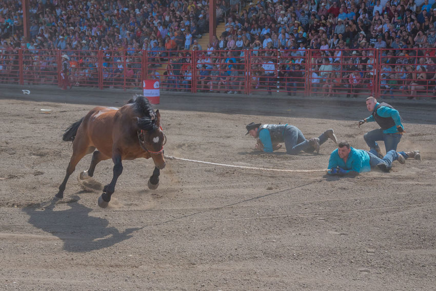 Williams Lake, British Columbia/Canada - July 2, 2016: team of cowboys try to catch and saddle an unbroken horse during the Wild Horse Race at the 90th Williams Lake Stampede. 90th Williams Lake Stampede Arena Cowboys Rodeo Rope Wild Horse Wild Horse Race Audience Catching Competition Dangerous Dragged Dust Extreme Sport Horse Men Outdoors People Professional Rodeo Rearing Sport Stampede Stands Team Unbroken