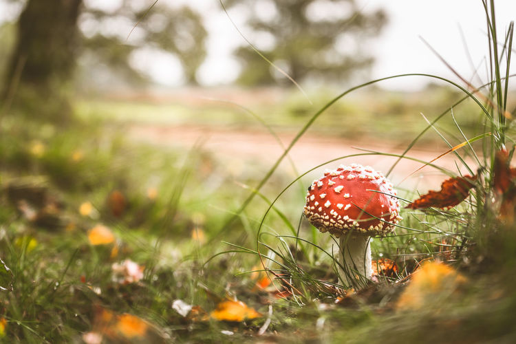 Close-Up Of Fly Agaric Mushroom Growing On Grass