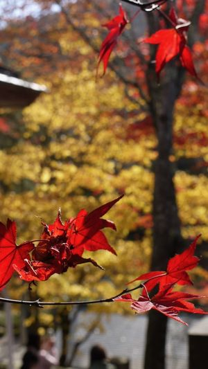 Autumn Beauty In Nature Botany Branch Change Close-up Day Flower Focus On Foreground Fragility Freshness Growth In Bloom Leaf Leaves Maple Leaf Nature Park - Man Made Space Petal Red Scenics Season  Springtime Tranquility Tree