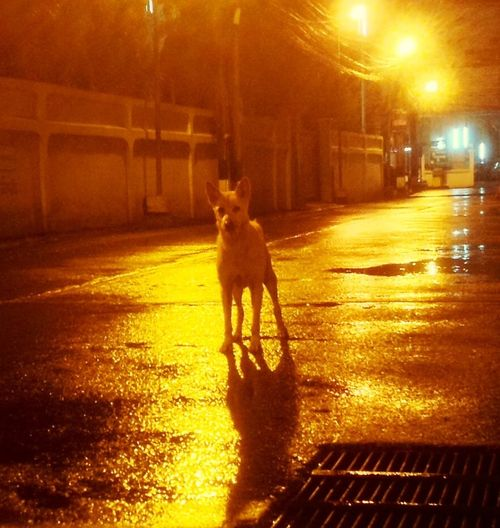 Dog❤ Dog Soidog Dogs Dogslife Dog Love Ngamwongwan Thailand Night Night Photography