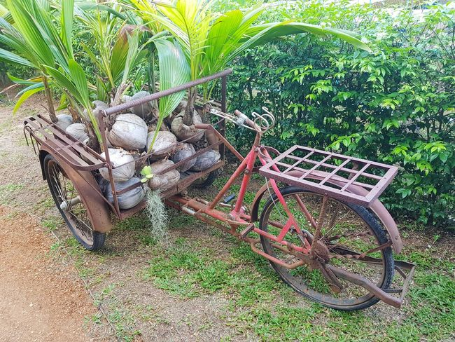 Gathering Coconuts Fresh Bicycle Coconut Organic Thailand